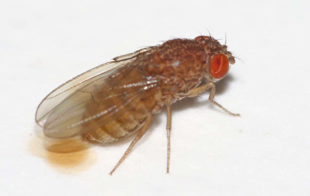 Drosophila mercatorum