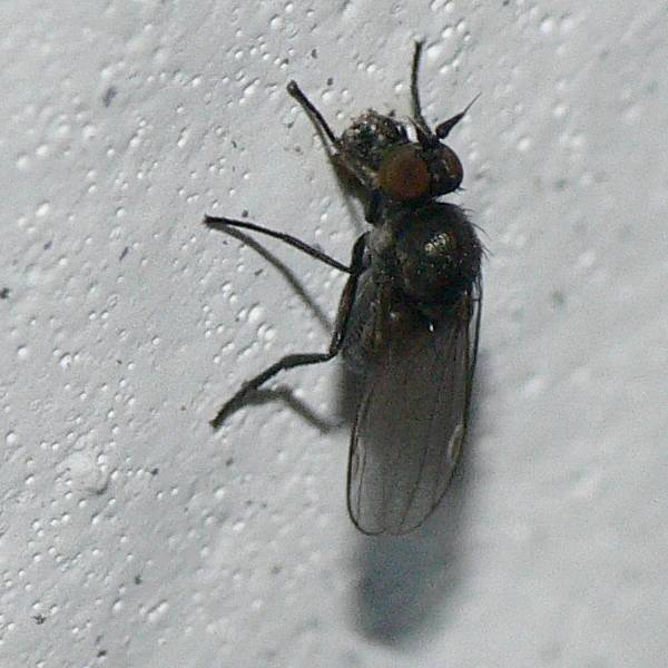 diptera  discussion forum tiny black flies with conspicious, small black flies in house australia, small black flies in house florida, small black flies in house that bite