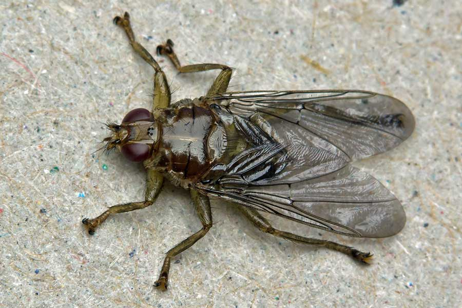 farmapest çeçe sineği resimleri ile ilgili görsel sonucu