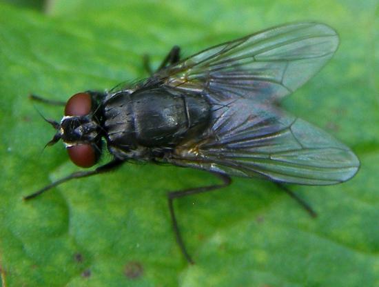 House flies - muscidae