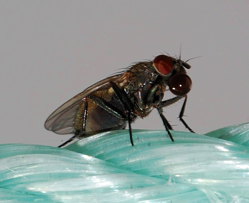 www.diptera.info/forum/attachments/fly_32.jpg