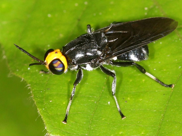 www.diptera.info/forum/attachments/mry-376-stratiomyidae.jpg