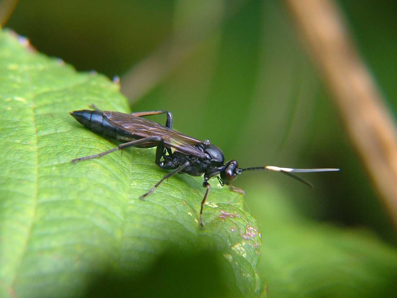 Diptera.info - Discussion Forum: UK Ichneumon Wasp -ID? Black Ichneumon Wasp