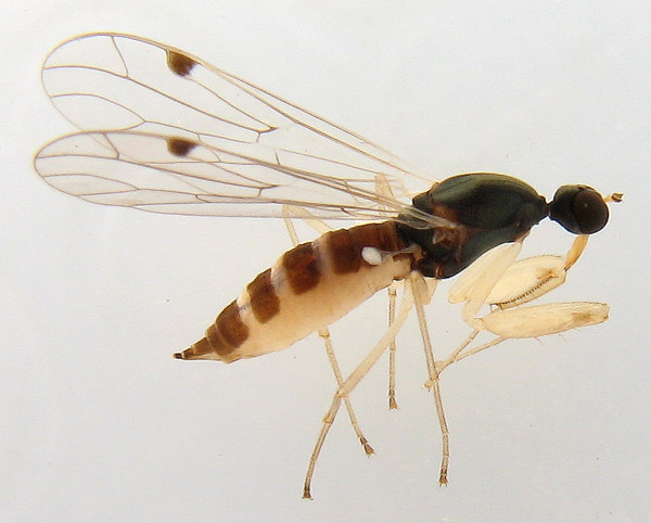 Empididae: Chelifera sp. (female) (1)