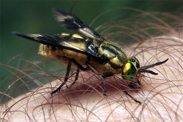 Tabanidae 4678-dip-tabanidae-chrysops-: imgarcade.com/1/tabanidae