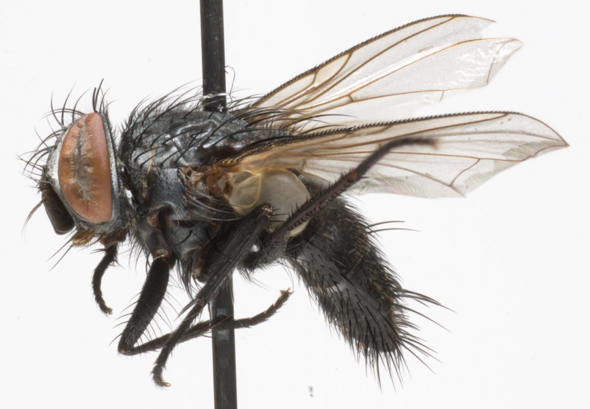 Tachinidae: Paratryphera bisetosa (female) (1)