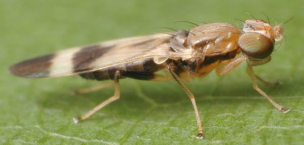 Typhamyza bifasciata
